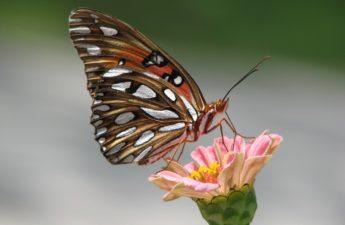 Gulf Fritillary Butterfly on a Zinnia Flower