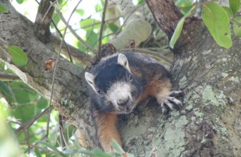 Fox squirrel in oak tree