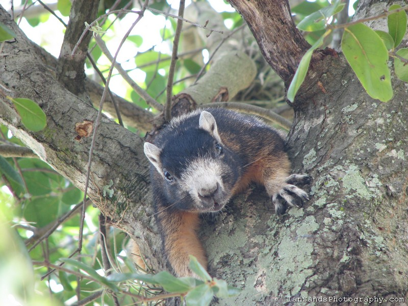 Fox squirrel in an oak tree