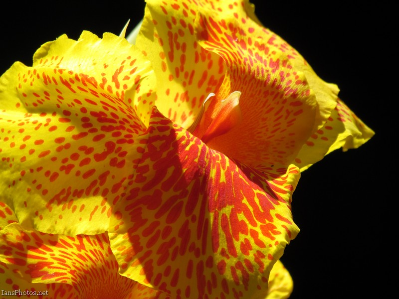 Yellow canna lily flower