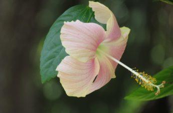 Pink peach hibiscus flower