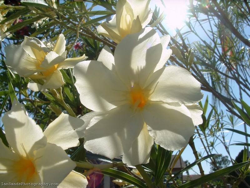 oleander flower labelle