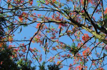 Royal Poinciana Tree Flowers