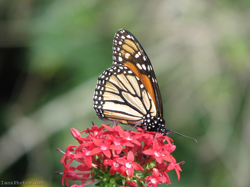 Monarch Butterfly on red penta flowers