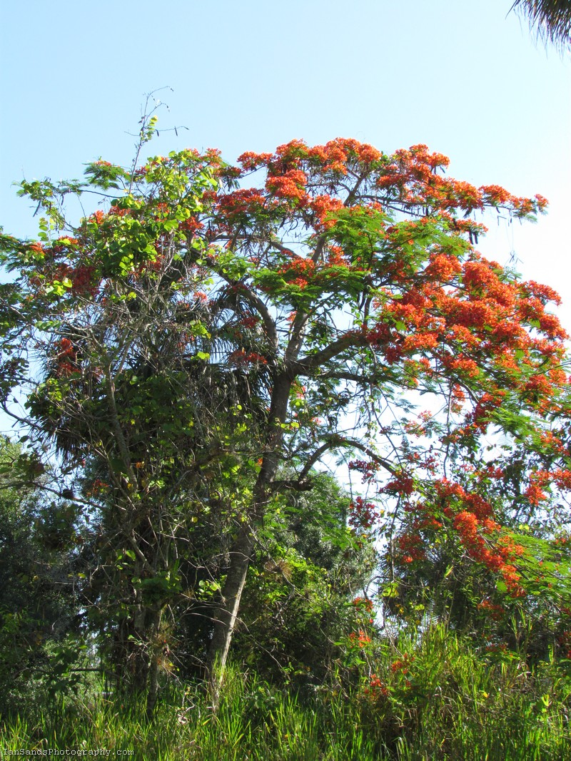 Royal Poinciana Tree Photo