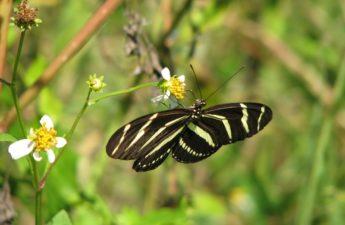 Zebra Winged Butterfly on a spanish needle flower