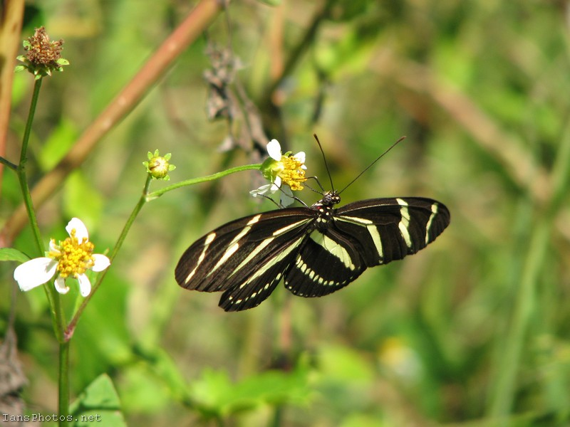 Zebra Winged Butterfly on Spanish Needle Flower