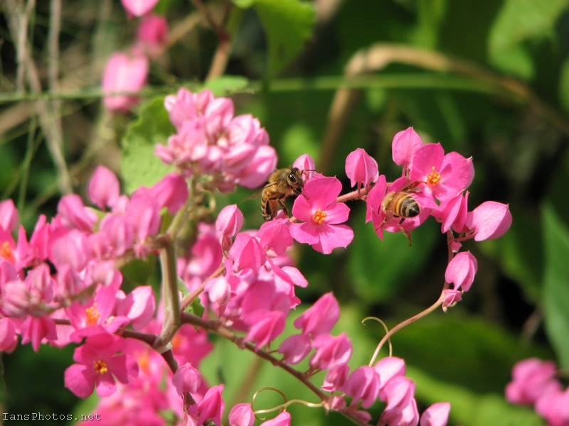 Pink coral vine flowers with bee