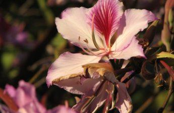 Orchid flower tree, purple