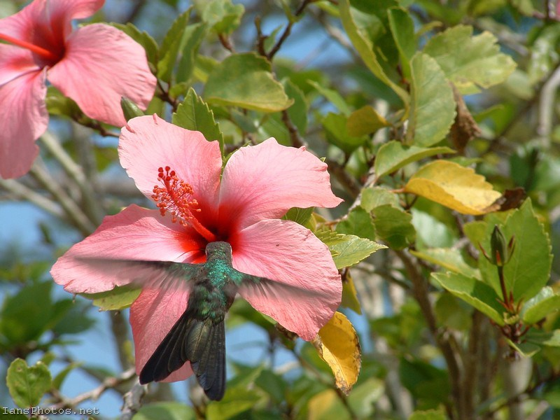 Green Hummingbird on Pink Hibiscus Flower
