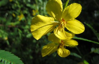 Yellow flower partridge pea, chamaecrista fasciculata.