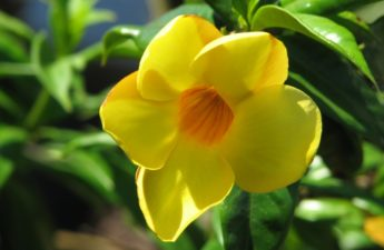 Yellow Alamanda Flower