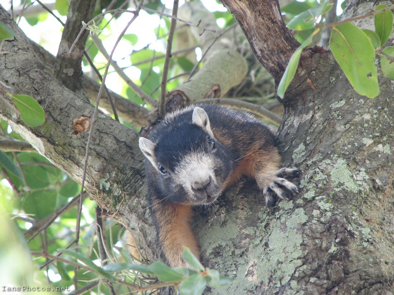 Fox squirrel in oak tree