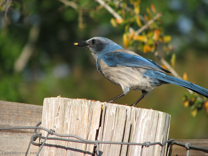 Scrub Jay Bird on Post