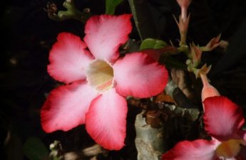 Pink desert rose flower photo