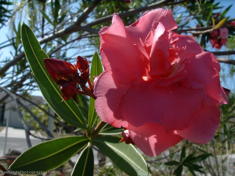 Double Pink Oleander Flower