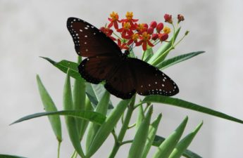 Queen butterfly on milkweed photo