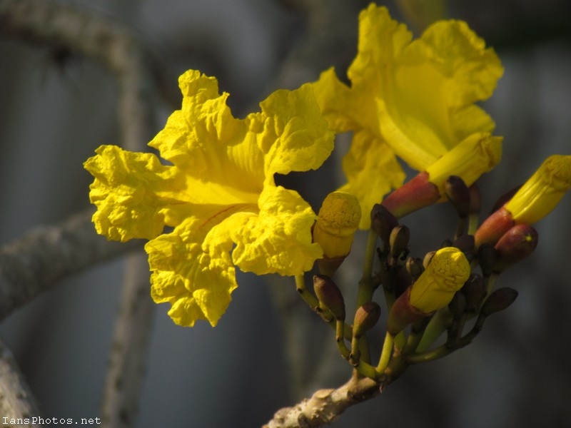 Yellow tabebuia flower photo