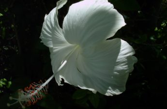 White hibiscus flower photo