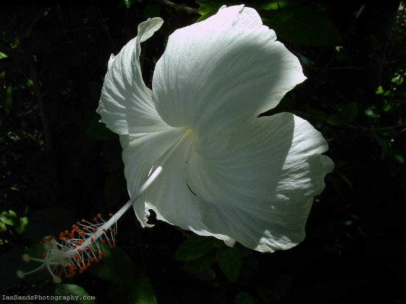 White Hibiscus Flower Picture