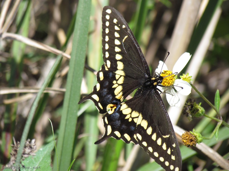 Black swallowtail butterfly photo Papilio polyxenes
