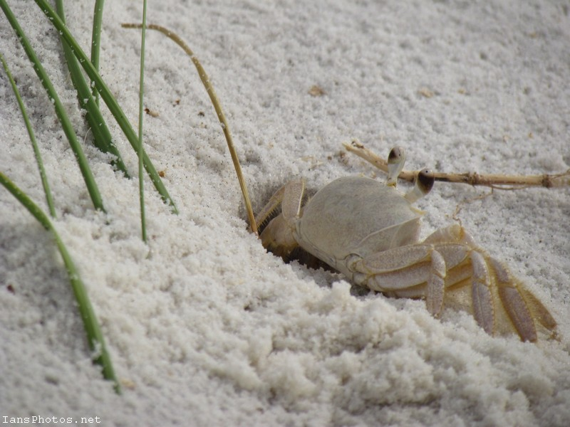 Ghost Crab on Cape San Blas Beach