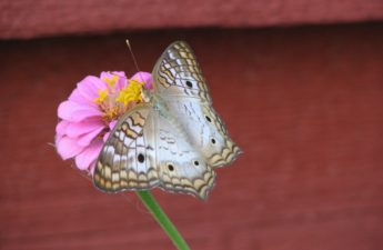 White Peacock Butterfly Photo