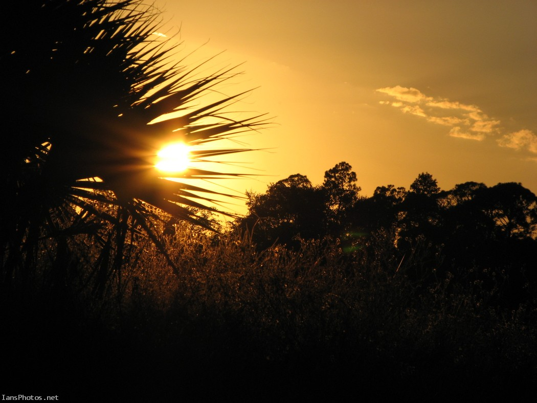 Orange Sunset Through Palmetto