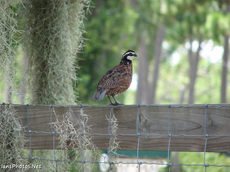 Quail photography on a fence