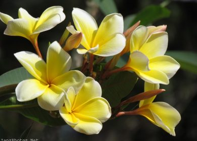 Yellow Frangipani Flowers