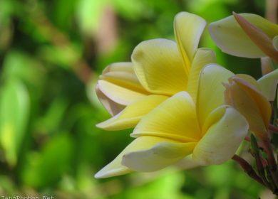 Yellow Frangipani Flower Plumeria