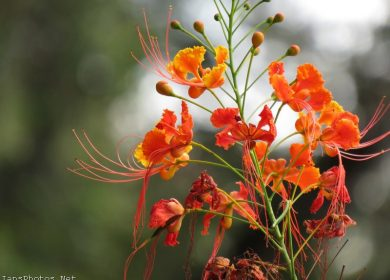Miniature Poinciana Flowers
