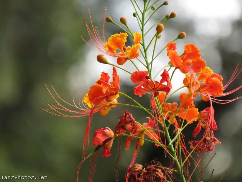 Miniature Poinciana Flowers