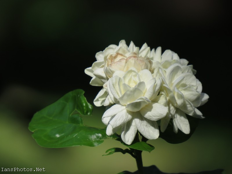Duke of Tuscany Jasmine Flower