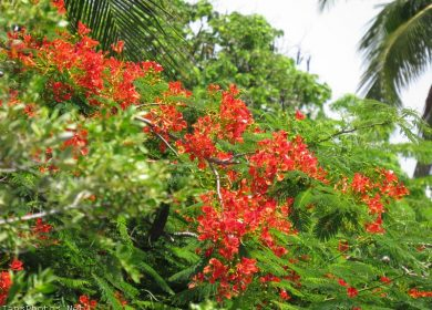 Royal Poinciana Tree Flowers