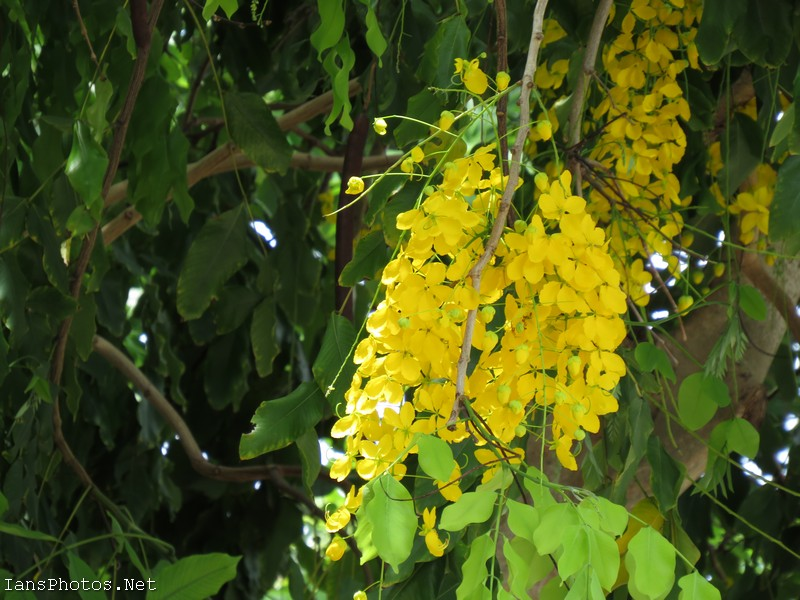 Golden Rain Tree Flowers