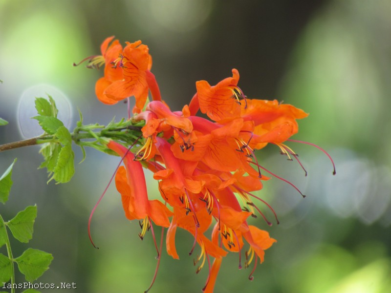 Orange Honeysuckle Flowers