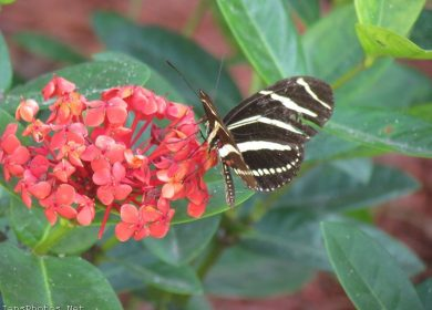 Weathered Zebra Winged Butterfly on Orange Ixora Flower