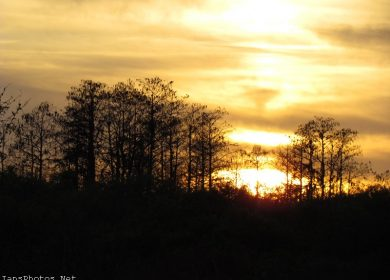 Sunset Through Cypress Trees Okaloacoochee Slough State Forest Florida.