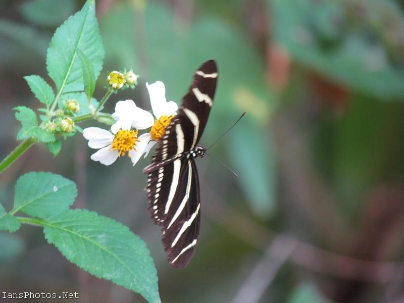 Zebra Winged Butterfly on Spanish Needle Flower