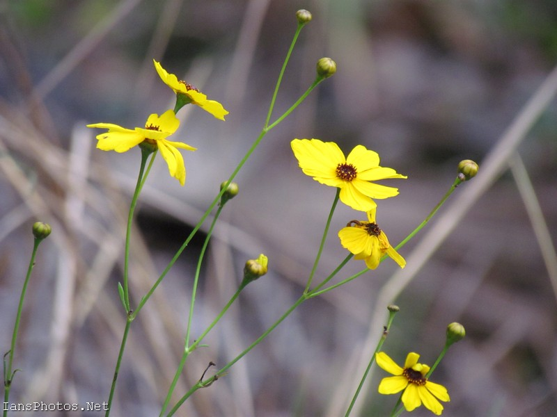 Tick Seed yellow flowers at the Okaloacoochee Slough State Forest by Ian Sands