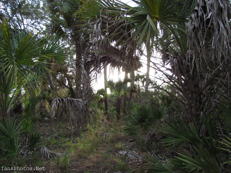 Okaloacoochee Slough State Forest Cabbage Palm Trees